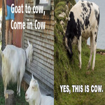 This Is Cow
