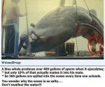 facts about the coveted whale penis