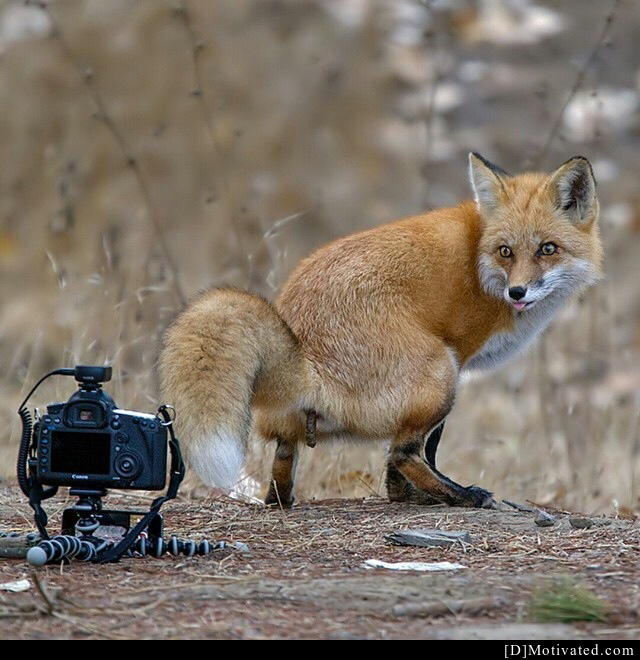 The Most Photogenic Fox On The Planet